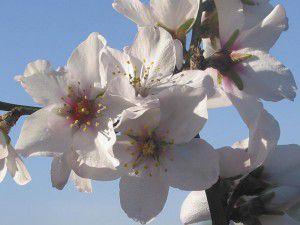 Im Februar dem Winter entfliehen und das weiße Blütenmeer Mallorcas genießen.