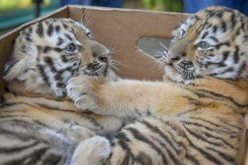 <p>Budapest. Süß: Zwei sechs Wochen alte Sibirische Tiger in einem ungarischen Zoo.</p>