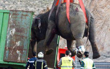 <p>Albacete. Massig: Dieser Elefant wir mit einem Kran auf die Ladefläche eines Lasters gehievt.</p>