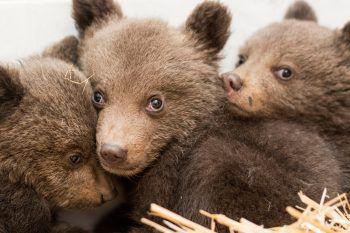 <p>Belitsa. Flauschig: Drei Bärenbabys, die von bulgarischen Behörden gefunden und evakuiert wurden, kuscheln sich ängstlich aneinander.</p>