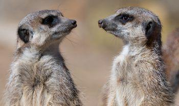<p>Dresden. Frühling: Zwei Erdmännchen freuen sich im Dresdner Zoo über die angenehmen Temperaturen.</p>