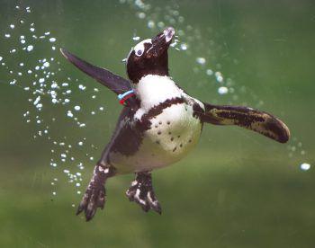 <p>Frankfurt. Erfrischend: Ein kleiner Pinguin geht im Opel Zoo auf Tauchstation.</p>