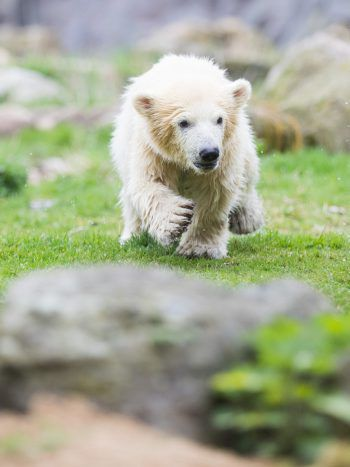 <p>Gelsenkirchen. Süß: Eisbärbaby Nanook genießt die ersten Schritte im Freien.</p>