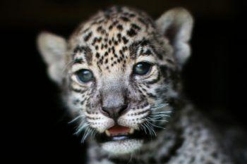 "<p>Teotihuacan. Aufgeweckt: Jaguar- Zuwachs im ""Reino Animal""-Zoo.</p>"