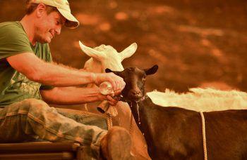 <p>Kalifornien. Fürsorglich: Bei einem Waldbrand versorgt ein Bewohner Ziegen mit Wasser.</p>