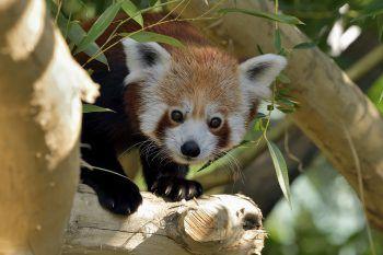 <p>Wien. Drollig: Die Roten Pandas durften nach einem Umbau in ihr Schönbrunner Gehege zurückkehren.</p>