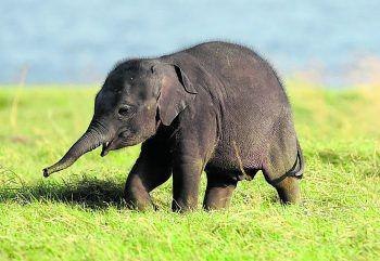 <p>Habrana. Ausflug: Dieses Elefanten-Baby erkundet die Landschaft im Kaudulla Nationalpark auf Sri Lanka.</p>