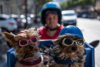 <p>Marseille. Reiselustig: Ein Mann fährt mit seinen beiden Hunden mit dem Mofa durch die Stadt.</p>