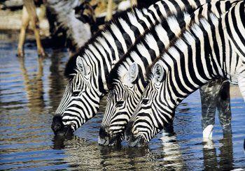 """<p class=""""caption"""">Mit etwas Glück können die Reisenden Zebras in freier Natur beobachten.</p>"""