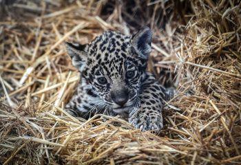<p>Paris. Verschlafen: Dieses kleine Jaguar-Baby sieht kurz nach der Geburt noch etwas müde aus.</p>