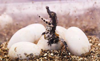 <p>Royan. Süß: Ein westafrikanisches Baby-Krokodil schlüpft in einem französischen Zoo aus dem Ei.</p>