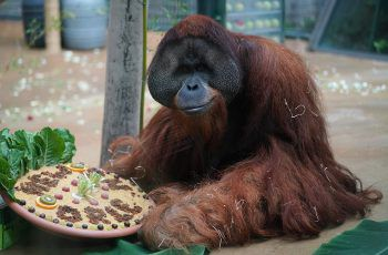 <p>Hannover. Abschied: Orang-Utan Jambi freut sich vor seiner Reise nach Dallas über eine Torte.</p>