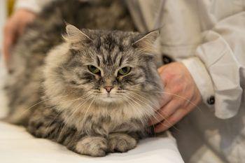 """<p>Birmingham. Majestätisch: Bei der """"Supreme Cat Show"""" wurden zum 42. Mal die schönsten Katzen Großbritanniens gekürt.</p>"""