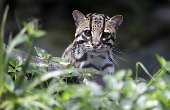 "<p>Cota. Süß: Eine Tigerkatze im Biopark ""La Reserva"" in Kolumbien.</p>"