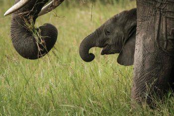 <p>Masai Mara. Putzig: Ein Elefantenbaby versteckt sich hinter seiner Mama.</p>