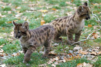 <p>Bell. Süß: Zwei Puma-Babys spielen im Tierpark Bell in Deutschland.</p>