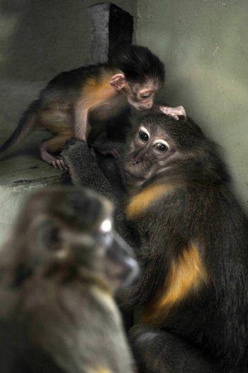 <p>Budapest. Süß: Eine Goldbauchmangabe mit ihrem Neugeborenen im Budapester Zoo.</p>
