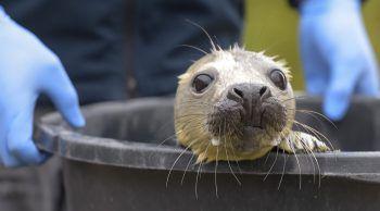 <p>Friedrichskoog. Munter: Seehundbaby Elvis freut sich auf frischen Fisch.</p>
