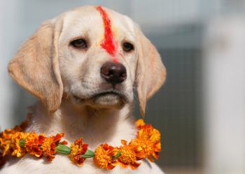 <p>Kathmandu. Süß: Ein Welpe wurde auf dem traditionellen nepalesischen Hunde-Festival mit Sindoor-Pulver bemalt.</p>