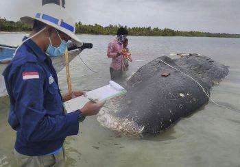 <p>Nationalpark Wakatobi. Traurig: Dieser an der Küste Indonesiens verendete Wal hatte über sechs Kilo Plastik in seinem Bauch.</p>