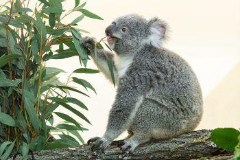 """<p>Schönbrunn. Angekommen: Seit Kurzem ist das Koala-Weibchen """"Bunji"""" im berühmten Wiener Tiergarten eingezogen.</p>"""