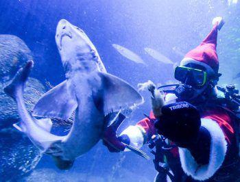 """<p>Berlin. Spektakulär: Pfleger Martin Hansel taucht als Weihnachtsmann verkleidet im Aquarium, um die Fische im """"Sea Life"""" Berlin zu füttern.</p>"""
