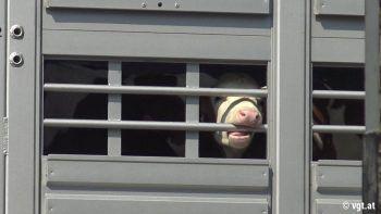 Die Tiere werden unter unwürdigen Bedingungen transportiert.Foto: VGT