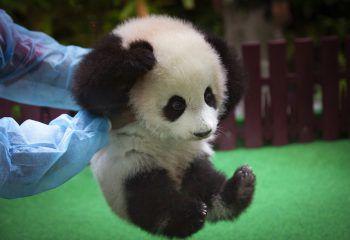 <p>Kuala Lumpur. Süß: Mitarbeiter eines Zoos spielen mit einem fünf Monate alten Panda-Baby in Malaysia.</p>