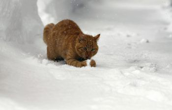 <p>Ramsau. Verspielt: Eine Katze freut sich über den frischen Schnee in der Steiermark.</p>