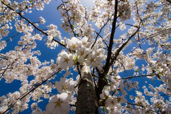 """<p class=""""caption"""">Ein wahrhaft traumhafter Anblick sind die zahlreichen blühenden Kirschbäume.</p>"""
