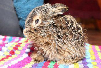 <p>Schleswig-Holstein. Süß: Spaziergänger fanden dieses auf sich allein gestellte Feldhasenbaby und brachten es in den Tierpark.</p>