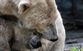 <p>Berlin. Verschmust: Eisbären-Nachwuchs Hertha und Mutter Tonja kuscheln in ihrem Gehege im Berliner Tierpark.</p>
