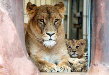 <p>Erfurt. Wachsam: Löwen-Mami Bastet mit ihren Kleinen im Zoo.</p>