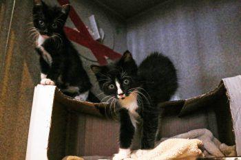 <p>Washington, DC. Verspielt: Zwei Katzenjunge tollen in einem Heim für Streuner, die nicht sozial genug sind, um in Wohnungen zu leben.</p>