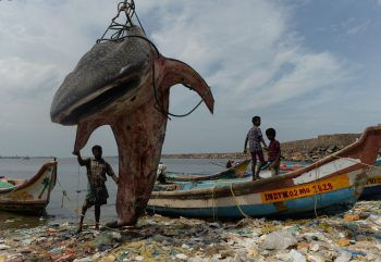 <p>Chennai. Riesig: Fischer hieven einen an derOstküste Südindiens angespülten Walhai an Land.</p>