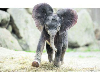 Im Tiergarten Schönbrunn kann man das süße Elefantenbaby Kibali bewundern. Fotos: handout/High Life Reisen