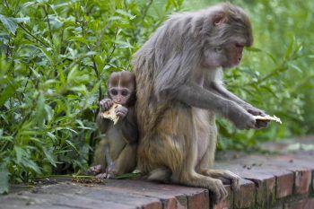 <p>Kathmandu. Hungrig: Ein Affen-Junges teilt mit seiner Mutter ein Stück Brot.</p>