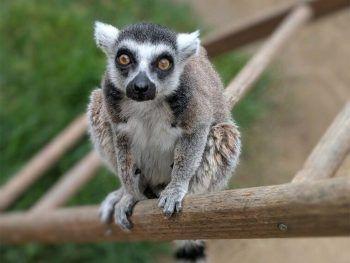 <p>Santa Ana. Neugierig: Isaac, ein 32-jähriger Lemur, beobachtet genau, was um sein Gehege im Zoo von Santa Ana (Kalifornien) geschieht.</p>