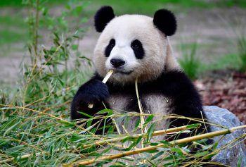 <p>Berlin. Hungrig: Die schwangere Panda-Dame Meng Meng genießt ihren Bambus.</p>