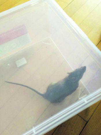 Die Ratten Kommen Wann Wo