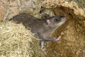 """<p class=""""title"""">Keine Verstecke bieten</p><p>Ratten suchen sich Verstecke. Aus denen kommen sie erst heraus, wenn sie ungestört sind. Perfekte Gelegenheiten dafür sind etwa Möbel- und Hausrat-ansammlungen in Kellern und auf Dachböden. Diese sollten also regelmäßig entrümpelt werden, um den Schädlingen gar nicht erst Verstecke zu bieten.</p>"""