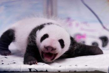 <p>Brugelette. Winzig: In einem belgischen Zoo erblickte ein Panda-Baby das Licht der Welt.</p>