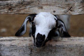 <p>Malargue. Frech: Dieses Ziegen-Kitz blickt neugierig durch den Zaun.</p>