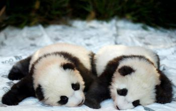 <p>Berlin. Putzig: Die beiden im Zoo der deutschen Hauptstadt geborenen Panda-Babys Meng Yuan und Meng Xiang zeigen sich erstmals der Öffentlichkeit. Fotos: Reuters, APA, AFP, Getty Images, AP </p>