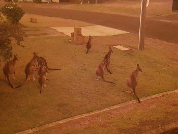 <p>Berrara Beach. Tragisch: Kängurus flüchten vor den verheerenden Buschbränden in Australien undverirren sich dabei auch in Städte. Die Feuer breiten sich weiter aus, Linderung ist nicht zu erwarten: Es werden für die kommenden Tage Temperaturen von bis zu 47 Grad Celsius vorhergesagt. Fotos: AFP, APA, AP, Reuters, dpa</p>
