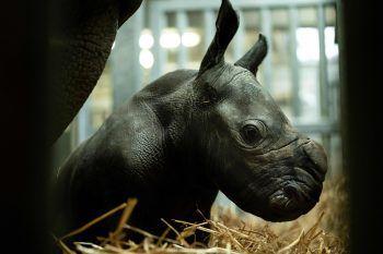 <p>Brugelette. Neugeboren: Dieses Nashornbaby erblickte am 25. November im Zoo der belgischen Stadt das Licht der Welt. Das männliche Jungtier ist aktuell mit seiner Mutter in einem separierten Gehege untergebracht.</p>