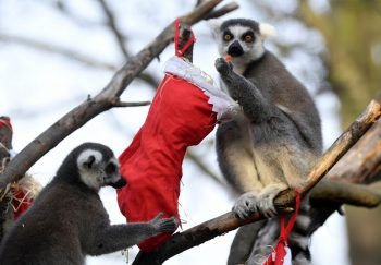 <p>London. Weihnachtlich: Diese beiden Lemure im Londoner Zoo verspeisen genüsslich ihr Geschenk.</p>