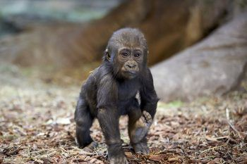 <p>Omaha. Süß: Baby-Gorilla Zuri macht seine ersten Schritte im Henry Doorly Zoo.</p>