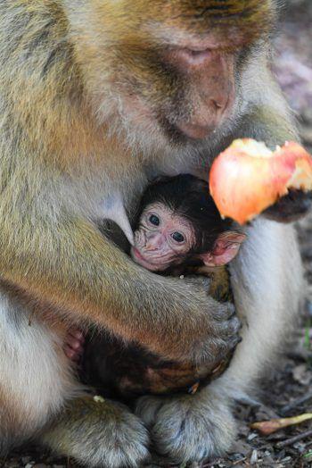 <p>Salem. Süß: Ein Affenbaby kuschelt sich im Tierpark an seine Mama.</p>