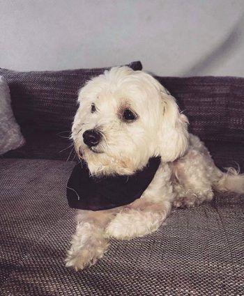 @shila.6845             3180 Follower: Malteser-Molonka-Mischling Shila zieht jeden in ihren Bann. 300 Abonnenten sammelte die Hohenemser Hündin allein an ihrem ersten Tag auf Instagram. Heute hat sich ihre Fangemeinde verzehnfacht – sogar eine Produktvorstellung für Hundefutter hat Shila in der Tasche.
